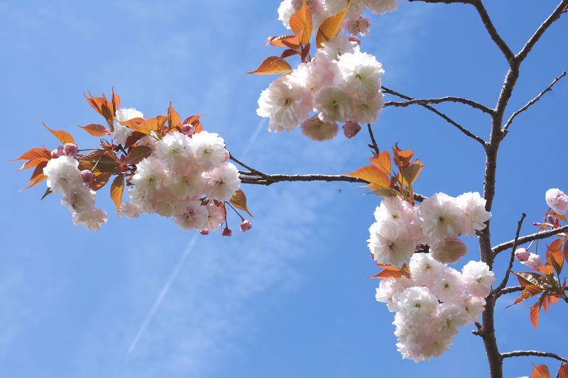 八重桜は趣きが変わる。飛行機雲の青空に映える