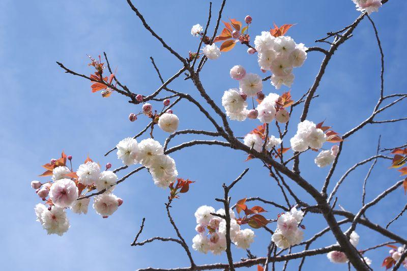 花もつぼみもポンポンと音を立てているようだ