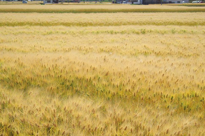 里の麦畑 麦の穂がもやもやとしているのがほほえましい