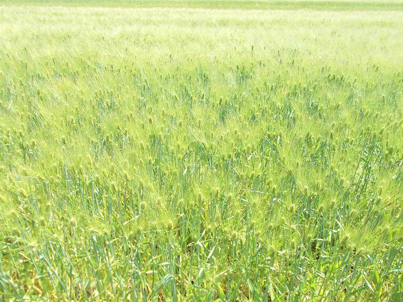 麦畑の様相は、何か清々した感じを受ける もうすぐ麦秋だ