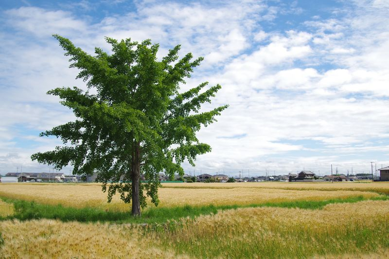 畑の中の一本木 アクセントになる木で、広々感があります