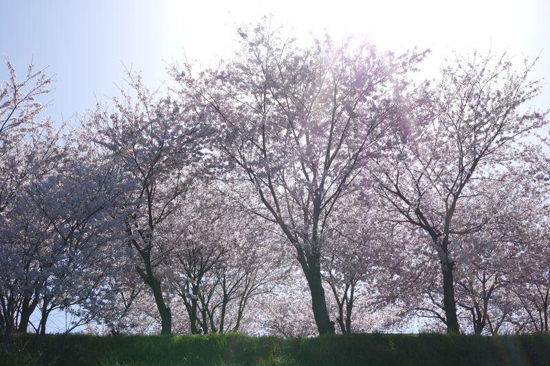 朝日で逆光に見る桜は、凄みを感じさせる一面がある