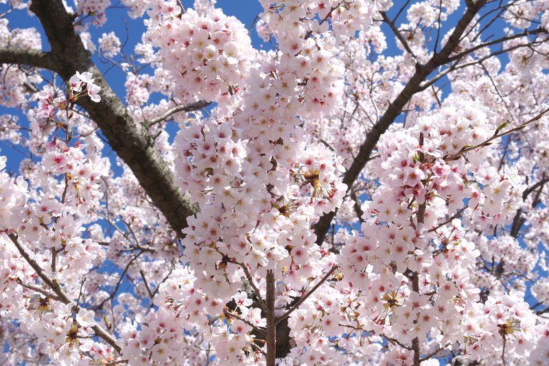 今年も無事に花見ができた喜びは、日本の良さだろう