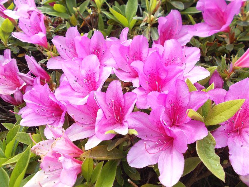 つつじは、花が大きく数も多く、見応えがある もうすぐに初夏