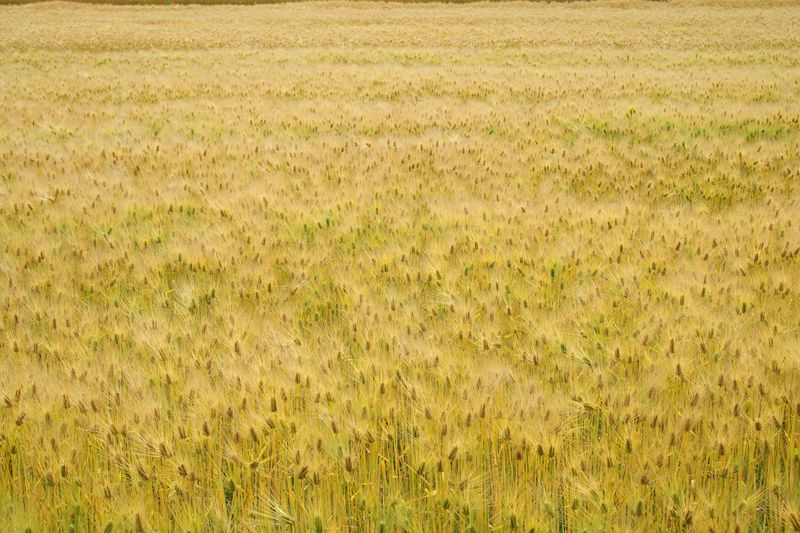 実りの秋ならず、実りの初夏ですが、麦秋