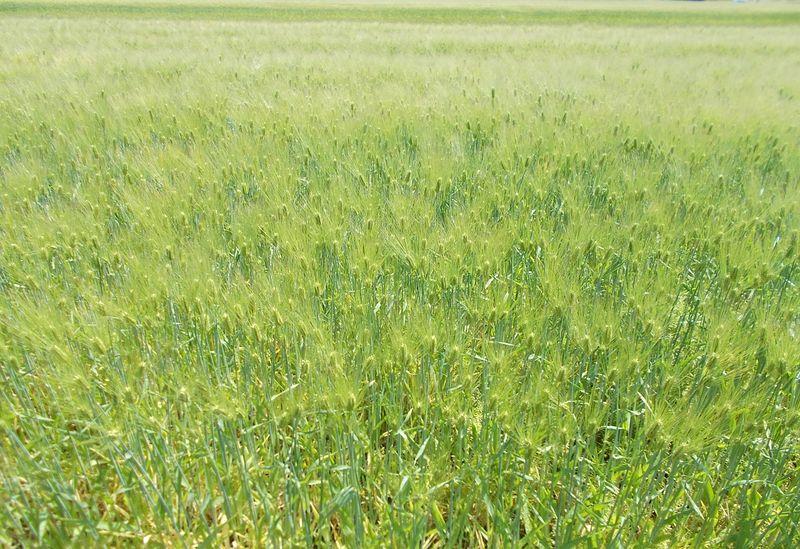 晩春の青々とした麦畑で、自然の動きを見れます