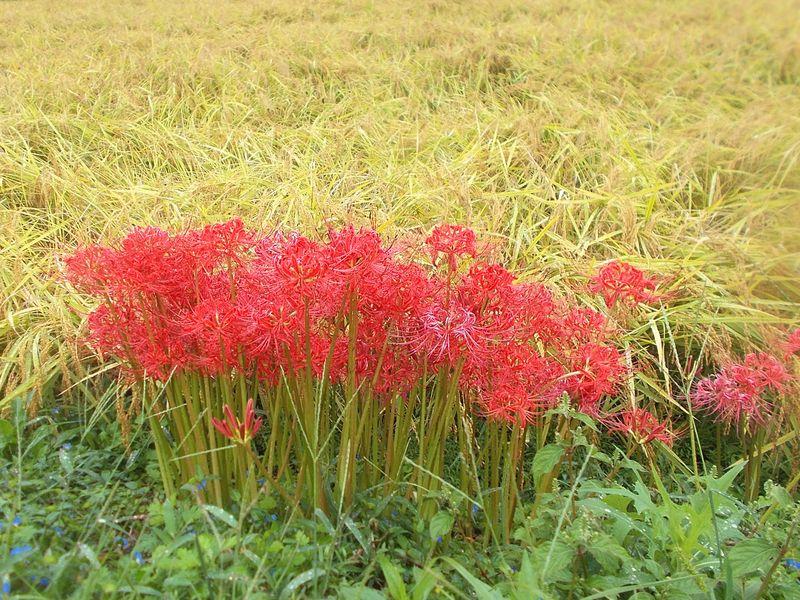 道中の稲は収穫の黄金色に近づき始め、その傍らの彼岸花の季節