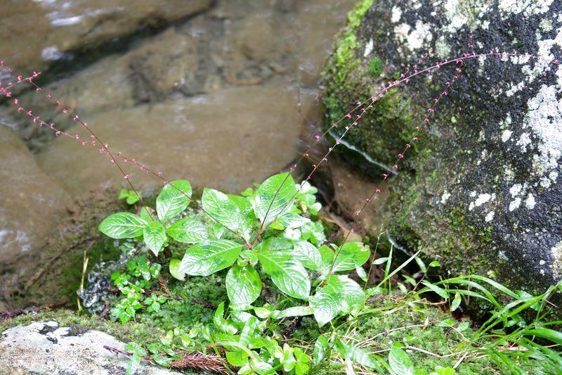 境内を流れるきれいな小川の傍らの「水引」がきれいだ