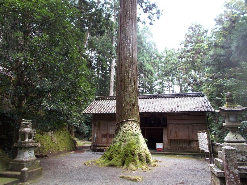 樹齢は800年以上と言われている いつから苔がみっちりと付いたものか