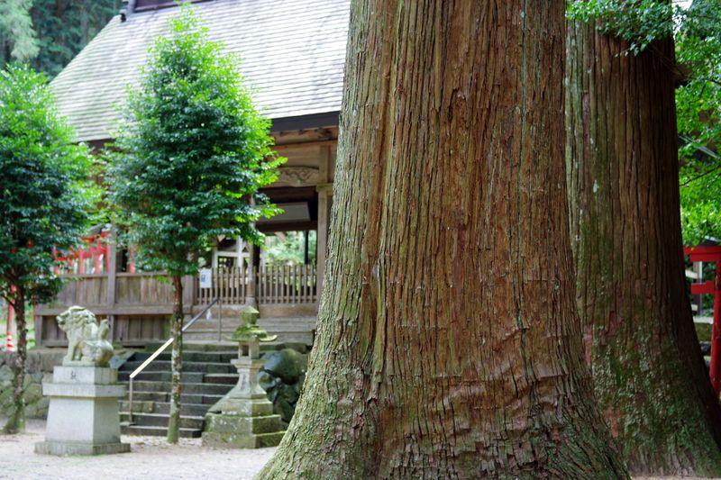 根回り8m以上 高さ50mの杉が、境内に7本ある それは見事
