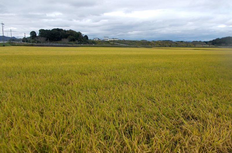黄金色になり始めた田園は、さらにこれからきれいになる